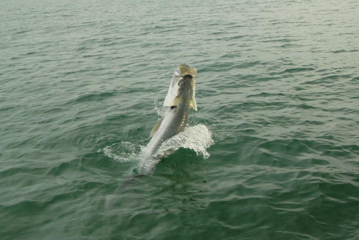 Tarpon jumping out of the water in sarasota florida