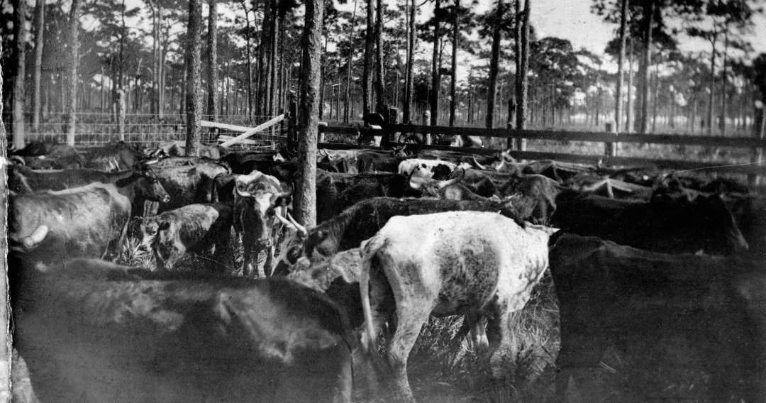 cattle grazing at myakka river state park