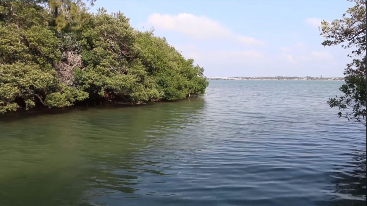 mangroves at ken thompson park in sarasota florida