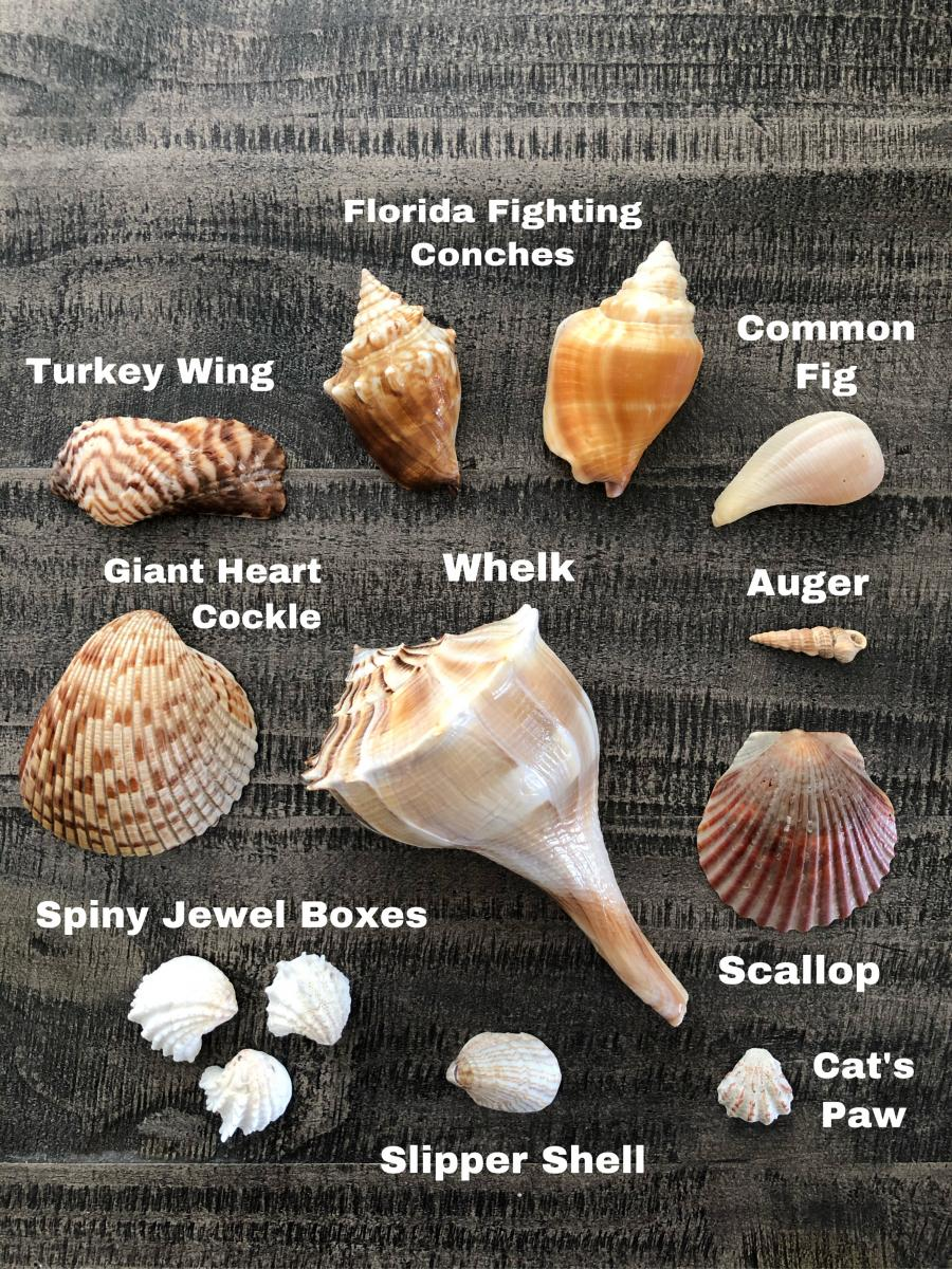 shells and their names