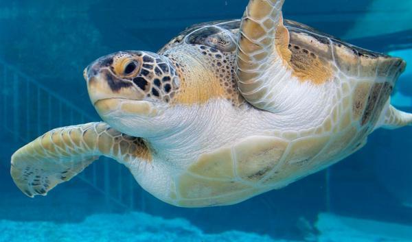 Sea turtle at Mote Aquarium