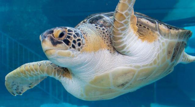 Sea Turtle (from Mote Aquarium, in this case)