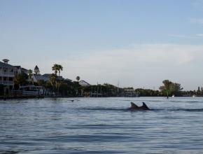Photo of dolphin in water off Venice, FL