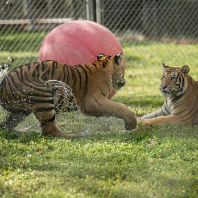 tigers playing at big cat habitat in sarasota florida