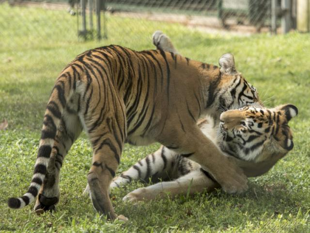 Tigers Playing! - Tigers Playing in their Habitat