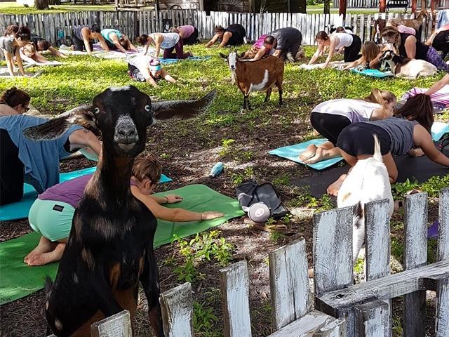Goat Yoga SRQ