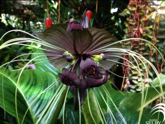 2890_640x480.jpg - Tacca integrifolia, AKA the batflower