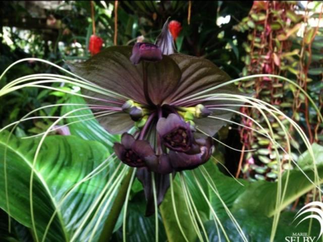2890_640x480.jpg - Tacca integrifolia, AKA the batflower