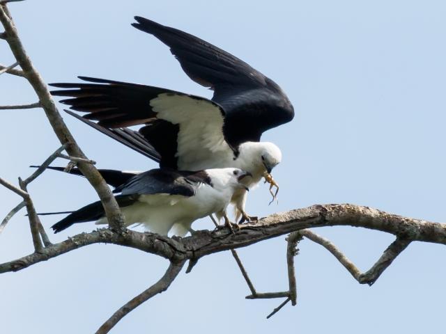 Swallow-tailed Kite Presentation