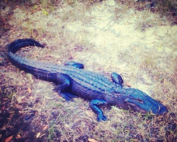 1165_640x640.jpg - One of our many Florida Alligators on the Peace River in Arcadia, Fl