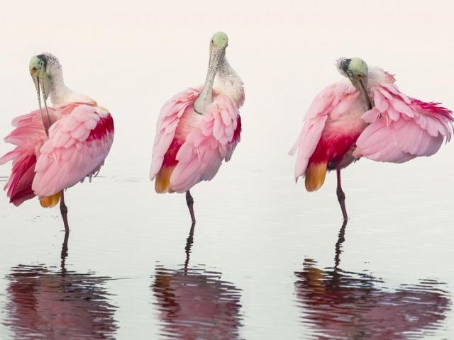 """Spoonbills Preening"" by photographer Mark Brown"