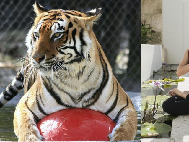 Yoga with Tigers