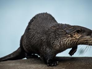Otters at Mote Aquarium