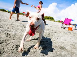Dog on beach in Sarasota County