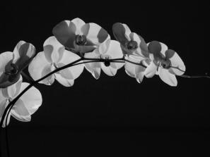 Orchids in Black & White – Orchid Show Specialty Workshop