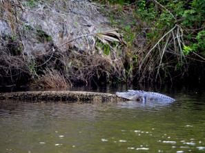 Gator in the Myakka River