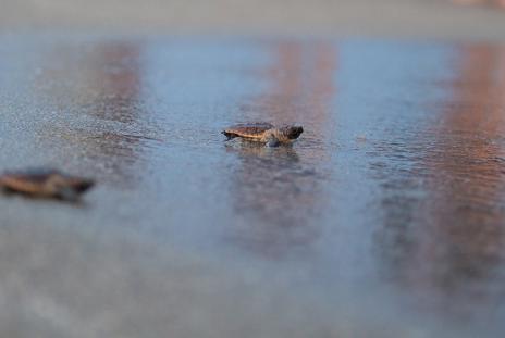 Loggerhead Hatching Release. Photo courtesy of Mote Aquarium