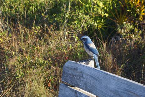 A Scrub Jay sighting at Oscar Scherer State Park