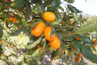 Kumquats in tree. Photo by Robin Draper.