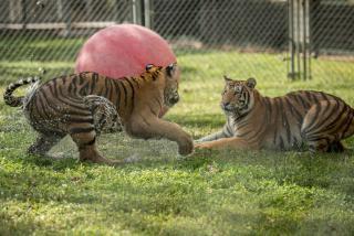 tigers playing at big cat habitat in sarasota florida