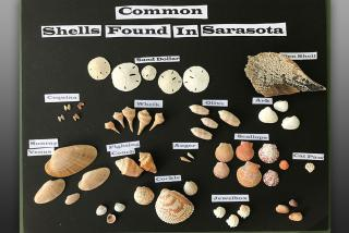 Common shells found in Sarasota.  Photo credit: Robin Draper.