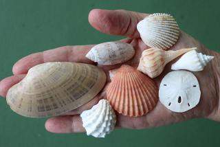 Handfuls of shells.  Photo credit: Robin Draper