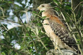 Hawk. Photo credit: Robin Draper