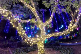 holiday lights on a tree at selby botanical gardens
