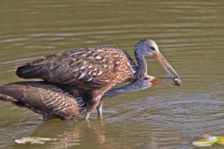 Limpkin feeding its young