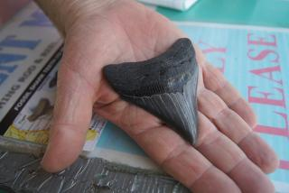 Megalodon shark tooth, Venice, Florida
