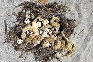 Sea turtle egg shells and sea whelk egg cases.