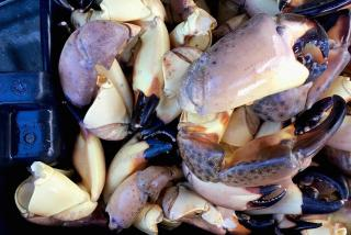 Stone Crab Claws. Photo by Nicole Coudal
