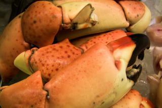 Stone crab claws. Photo credit: Robin Draper