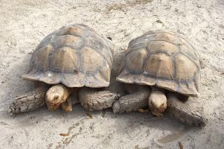 Seeing the tortoises at Big Cat Habitat & Gulf Coast Sanctuary. Photo by Vanessa Caceres.