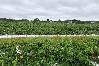 Gleaning at Enza Zaden Research Facility
