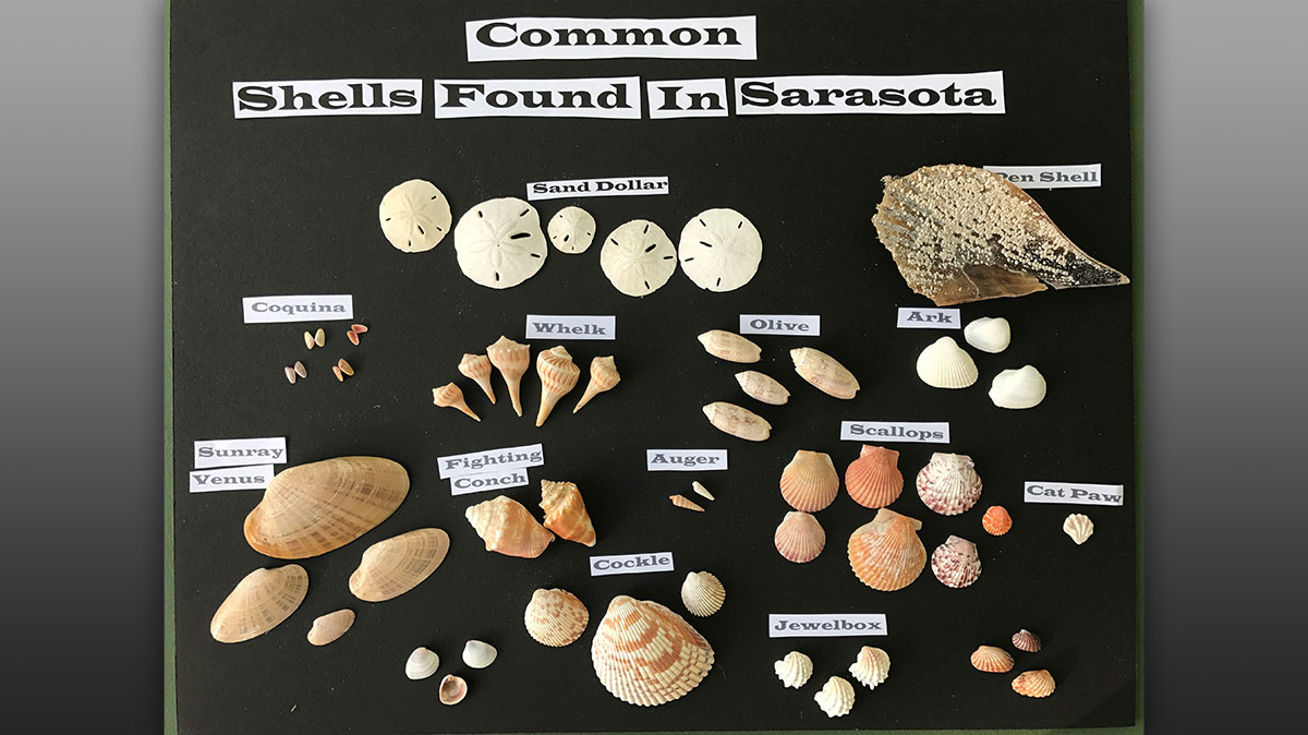 Shells commonly found in Sarasota