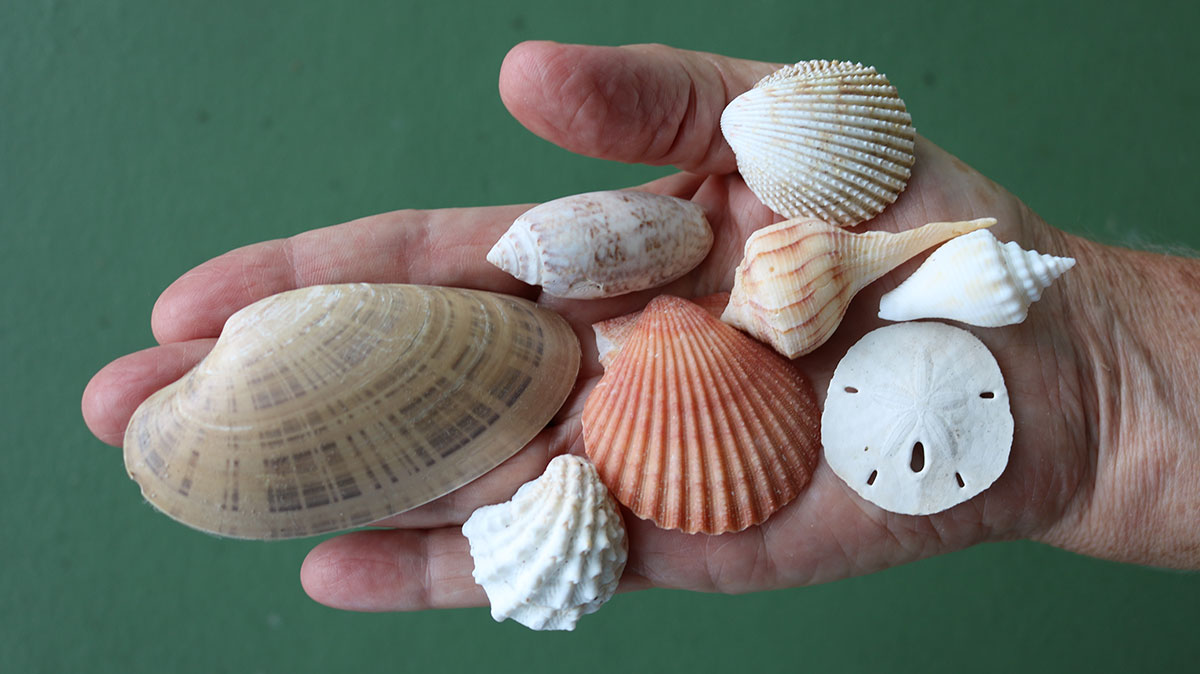 A handfull of shell-finds from Sarasota County beaches