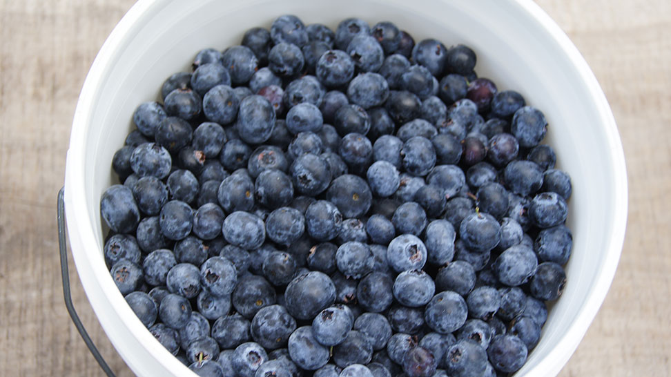 Bucket of Fresh Florida Blueberries