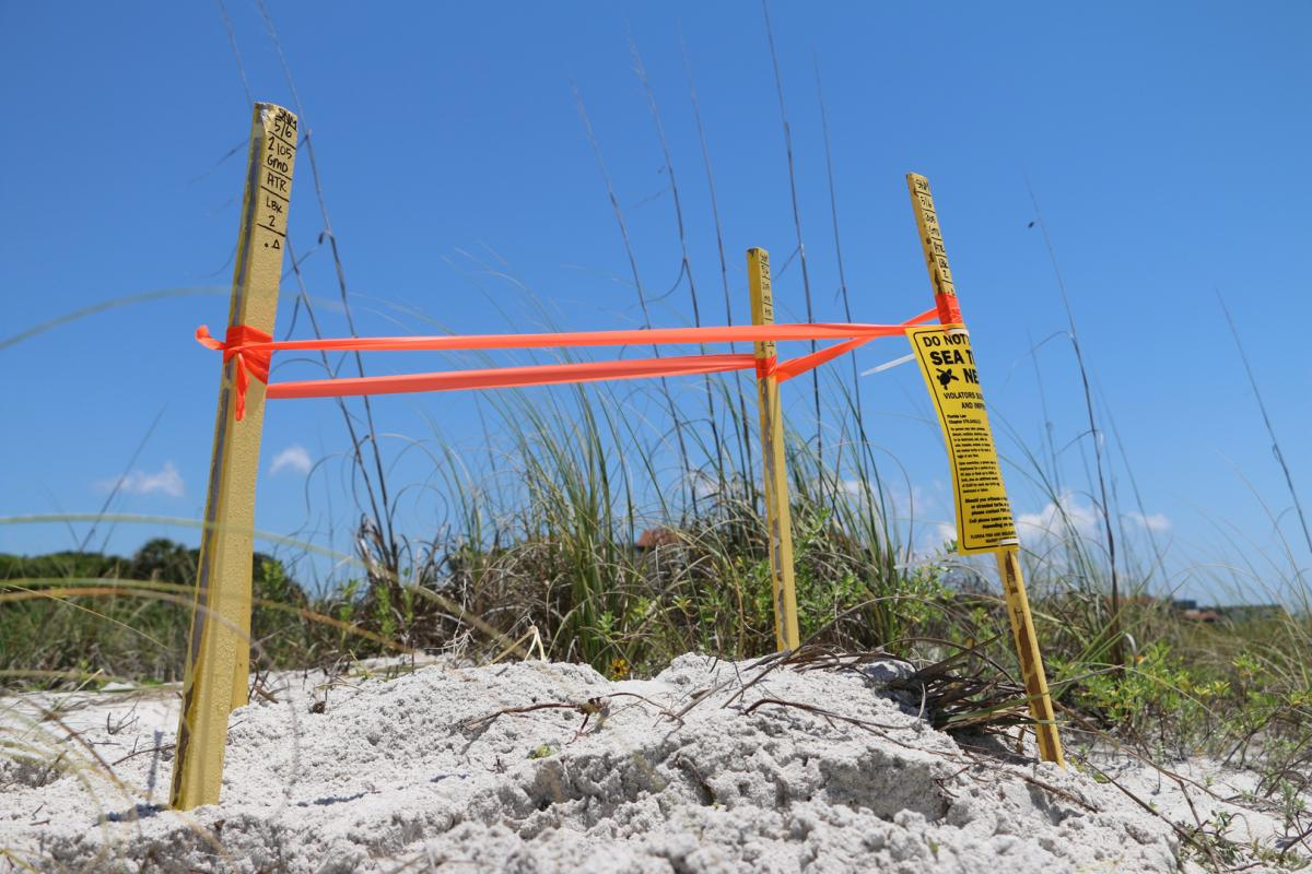 picture of sea turtle nest markers on longboat key florida