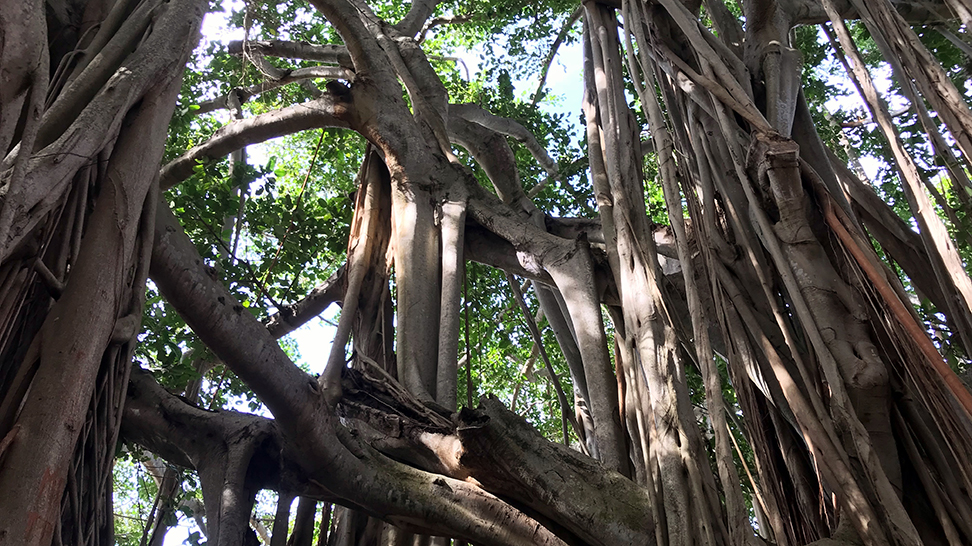 Banyan trees at The Ringling