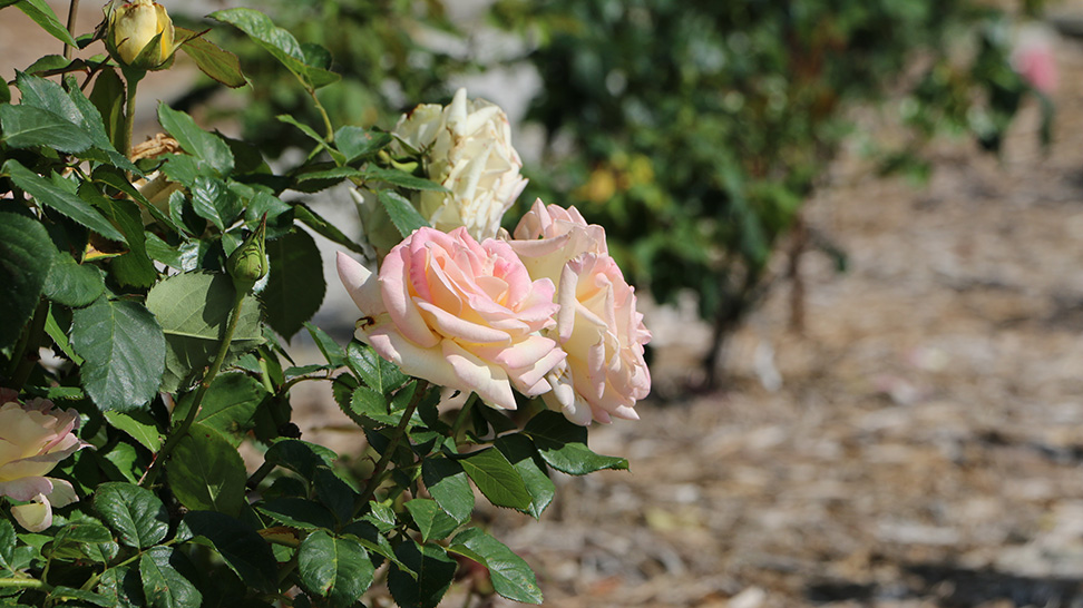 The Rose Garden at the Ringling Museum
