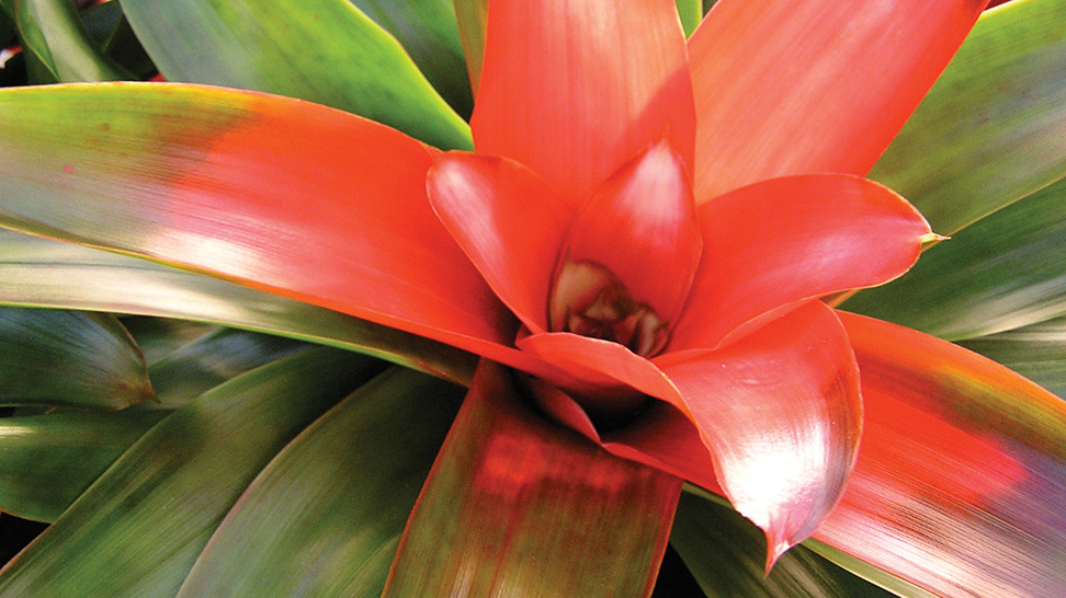 A bromeliad at Marie Selby Botanical Gardens