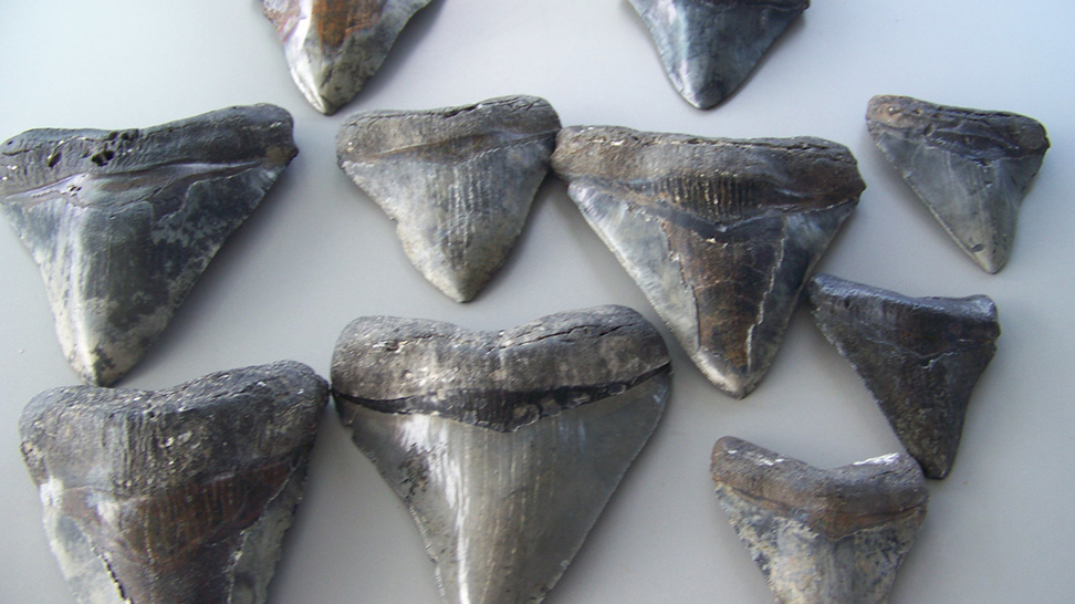 Sharks' teeth found at Venice Beaches