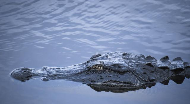 An Alligator at Myakka River State Park