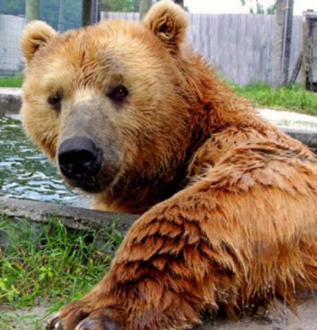 82_640x667.jpg - Buc The Kodiak Bear