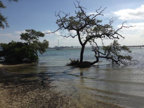 Black Mangrove at Ken Thompson Park, Sarasota