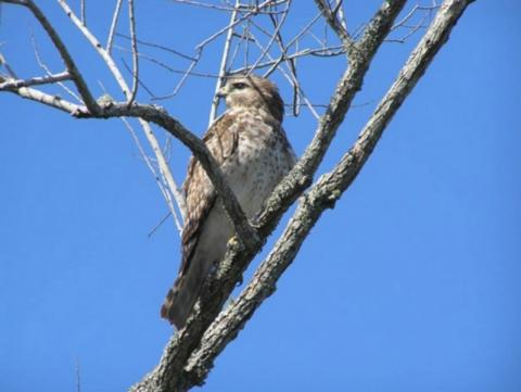 1240_640x481.jpg - Red Shoulder Hawk