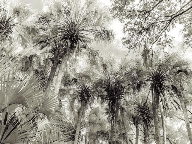 """Myakka Palms"" by Frank Bibbins"