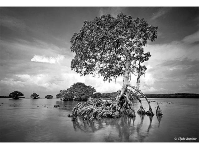 """Gaskin Bay - """"I had seen this old mangrove – which survived Hurricane Donna in the 1960s – several times while taking photographs in the Ten Thousand Islands. It expresses the lonely, primeval feeling that I love to experience in the wilderness. I had been stuck by the sculptural beauty of this mangrove before, but the light had not been right for me to take a photograph. Finally, one summer morning, everything came together and I was able to capture this image. Unfortunately, when Hurricane Andrew hit South Florida in 1992, this mangrove was destroyed."""" -Clyde Butcher"""