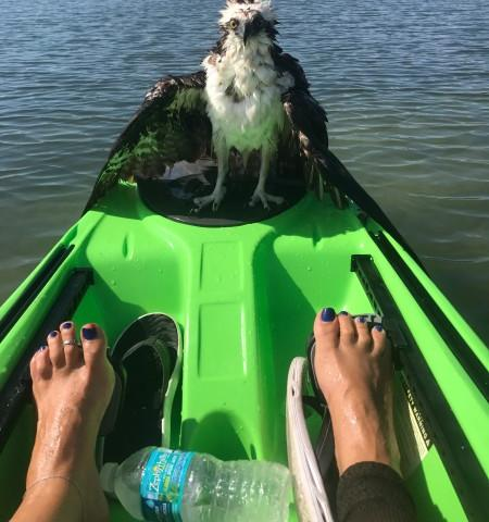 Rescued Osprey - We rescued an Osprey with a broken wing on one of our kayak tours.
